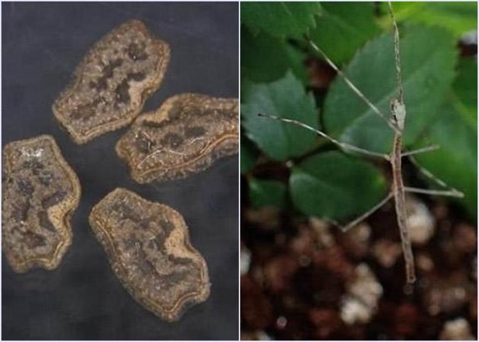 部分竹节虫卵(左图)可在鸟类的消化系统中存活,并随鸟粪排出体外及成功孵化。