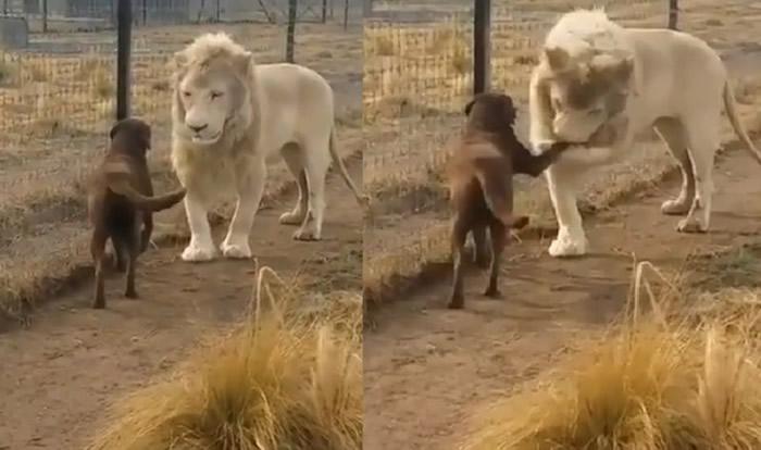 白狮子主动跟狗狗握手 还偷偷亲一口