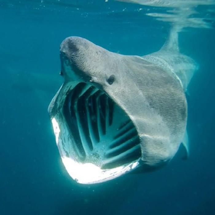 """世界第二大鱼类""""姥鲨""""因有大鱼翅惹来人类觊觎 濒临灭绝"""