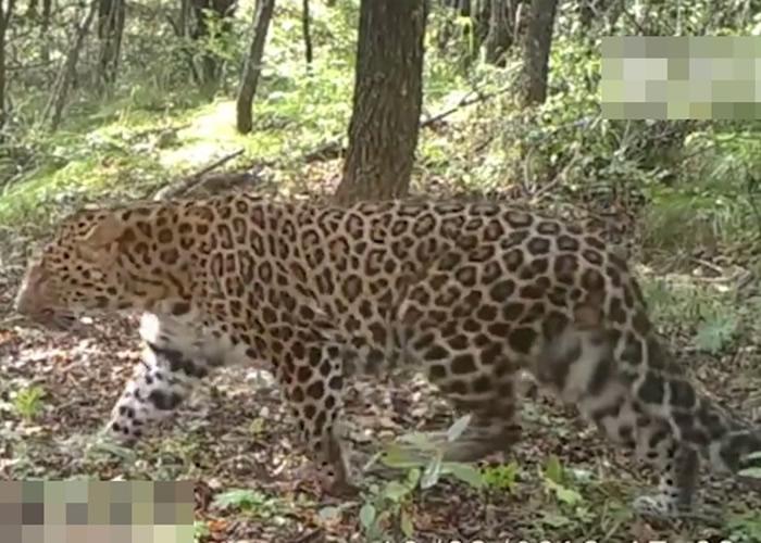 经长期监测后,延安的子午岭林区发现延今最大的华北豹野生种群。