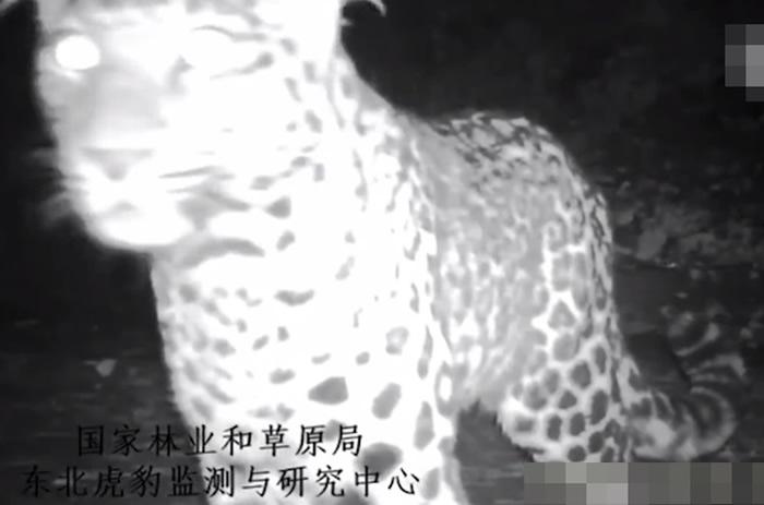 红外线触发相机网络等器材拍下华北豹在夜间出活的景象。