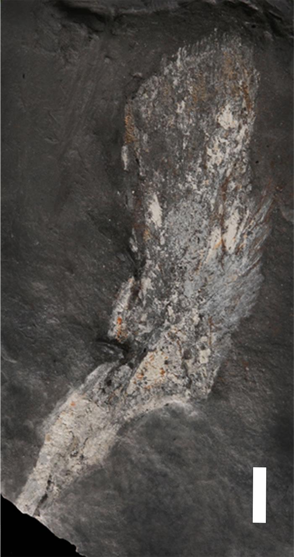 Tutusius umlambo化石