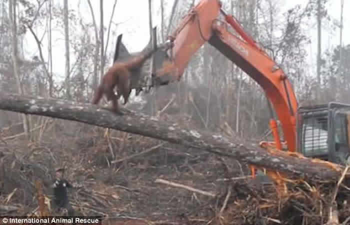国际动物救援组织:印尼雨林红毛猩猩为保卫家园冲向挖土机却跌落在地