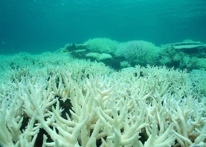 大堡礁珊瑚白化问题严重。