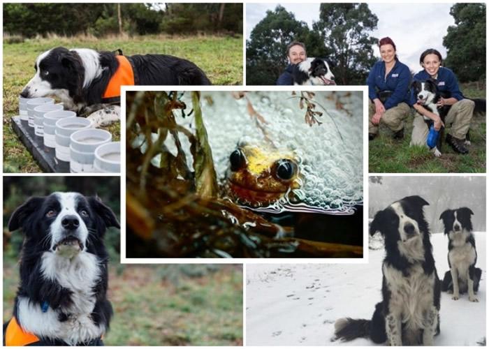 澳洲牧羊犬为动物园建功 在高原寻获濒危超声波蛙
