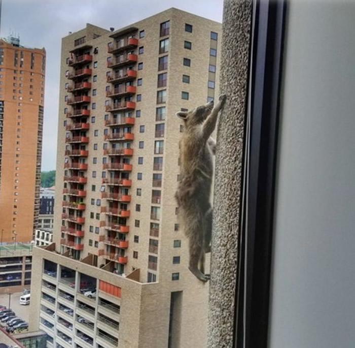 """美国明尼苏达州圣保罗市浣熊变身""""蜘蛛人""""爬上大楼外墙"""