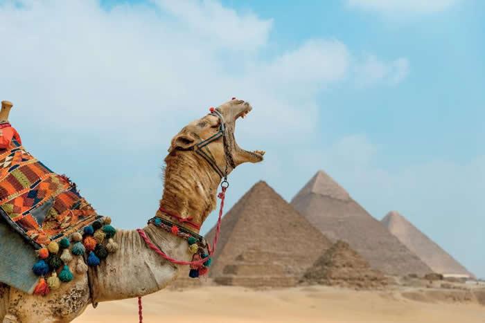 一只骆驼在雄伟的吉萨金字塔群前打呵欠。 PHOTOGRAPH BY CLAIRE THOMAS