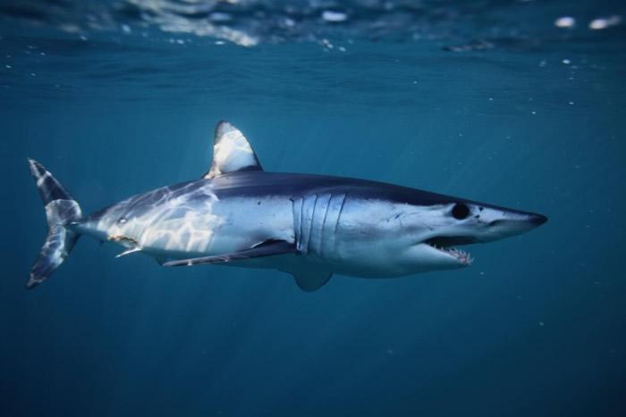 米切尔相信鲨鱼头来自尖吻鲭鲨。