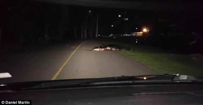 美国南卡罗莱纳州公路一条大短吻鳄把血淋淋的动物尸体咬住叼回水中