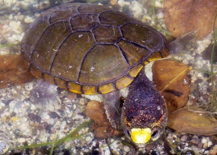 沃格特动胸龟鼻带黄点,外型特别。