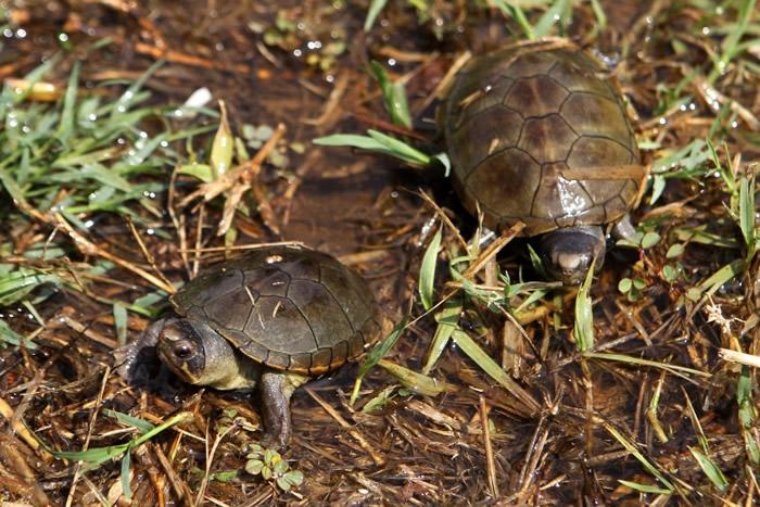 沃格特动胸龟为濒危物种。