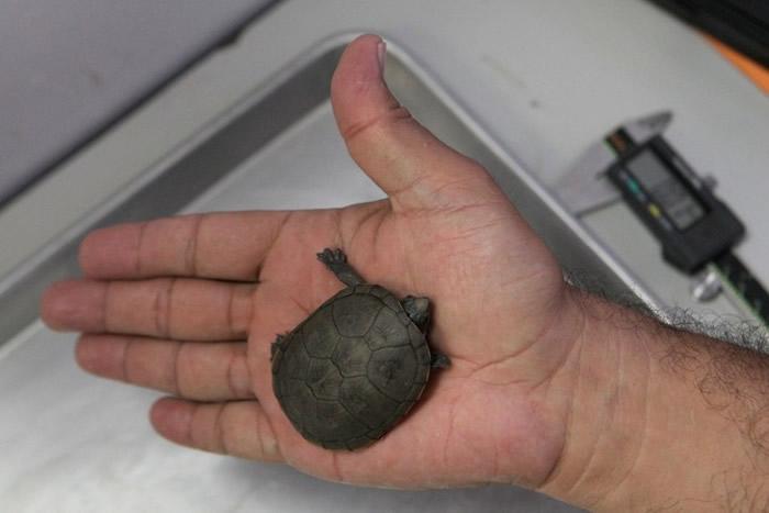 沃格特动胸龟体型细小。