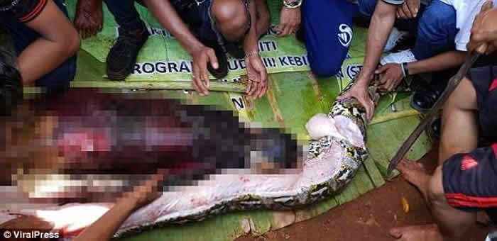 印度尼西亚苏拉威西岛8米长蟒蛇生吞女子被剖腹