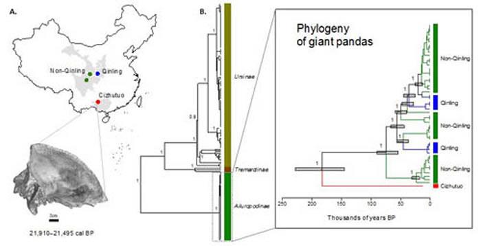 慈竹坨大熊猫样本的发现位置与其颅骨的计算机断层扫描图(A);大熊猫的线粒体系统发育图,从所有熊科物种的系统发育中扩展,表明其独特的线粒体谱系及与现存大熊猫种群在