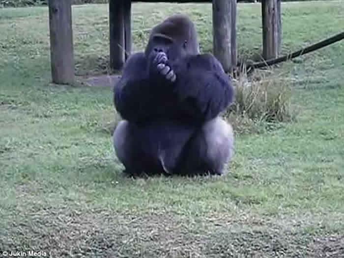 美国迈阿密动物园狡猾大猩猩手语教人不要喂食 背地里偷尝甜橙