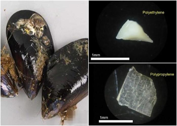 团队指日本水域的贝壳类水产含有大量微胶粒。