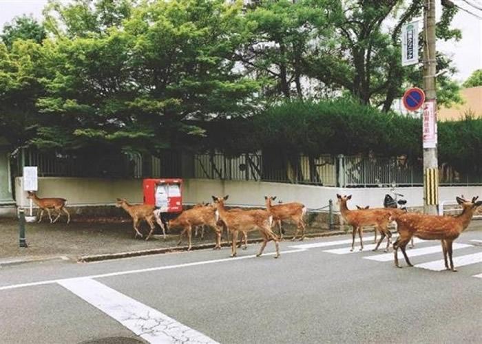 有人拍到鹿群在街头奔走。