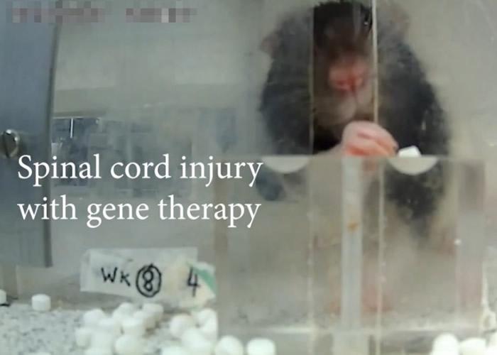接受基因疗法的实验老鼠能够用前肢拾起方糖进食。