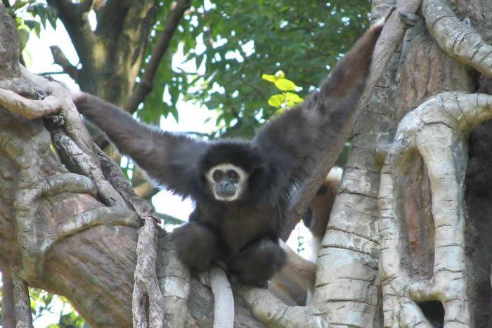 长臂猿(Hylobates lar)是最近在中国消失的两种长臂猿之一