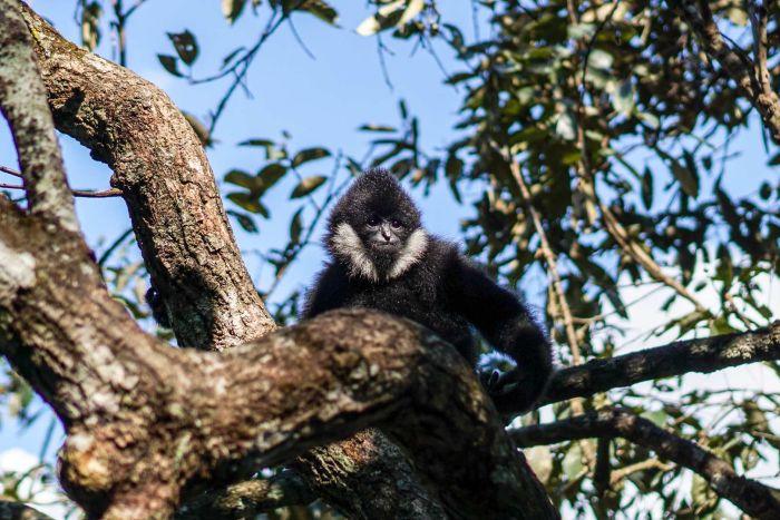 随着橡胶种植园规模的扩大,北方白颊长臂猿在中国变得极度濒危。