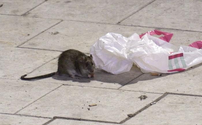 瑞典的松兹瓦尔市发现巨型老鼠
