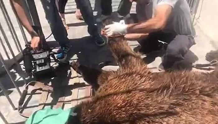 棕熊接受检查。