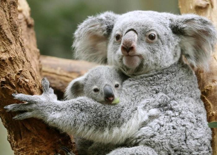 澳洲科学家成功透过移植粪便改善树熊消化能力
