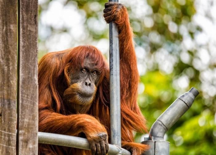 全球最老雌性苏门答腊猩猩普安(Puan)在澳洲珀斯动物园病逝 终年62岁