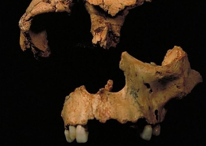 前人为智人与尼安德特人的祖先,即属现代人类祖先。