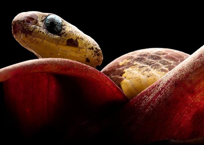 新发现的树栖蛇凭灵活的下颚及独特的牙齿,把蜗牛从坚硬的壳中挑出。
