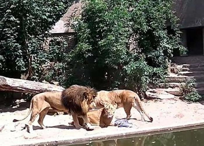 其他狮子上前分享大餐。