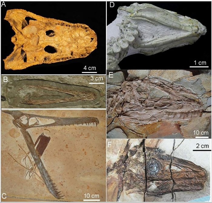 团队以在中国东北出土的暴龙化石,跟现代鸟类及爬虫类骨头对比研究。