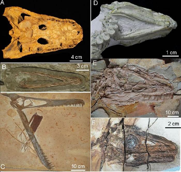图为舌骨化石在主龙化石里的保存,其中A是前鼻短吻鳄;B为辽西翼龙;C是玩具翼龙,D是热河龙,E是羽王龙,F是中华龙鸟。