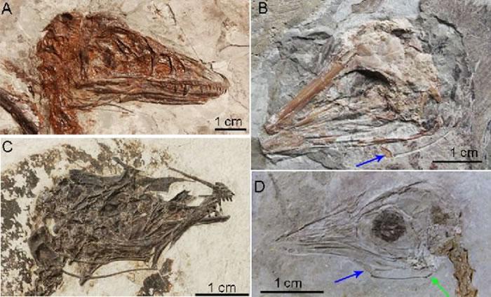 图为舌骨在鸟类化石和小盗龙里的保存。其中A是小盗龙,B是反鸟,C是孔子鸟,D是红山鸟,绿色的箭头指示了最早的上舌骨的保存,蓝色的箭头指示了最早的基舌骨在孔子鸟和