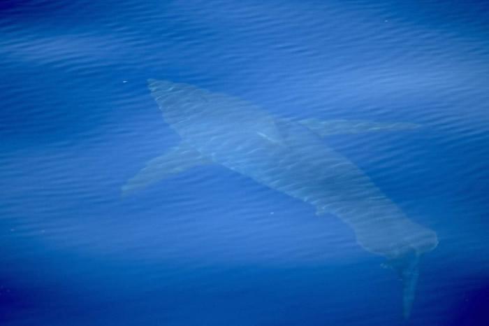 西班牙马略卡卡夫雷拉岛附近水域30多年来首次拍摄到大白鲨身影