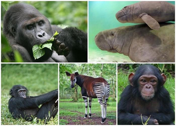 (左上起)大猩猩、非洲海牛、倭黑猩猩、非洲鹿、黑猩猩。