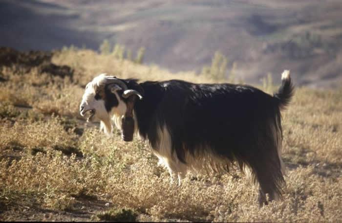 北美最早的犬类随人类一同到达新大陆 在新月沃土中对山羊的驯化过程是向四方扩散的