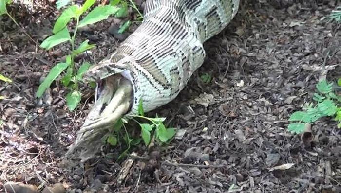 泰国武里南府大蟒蛇入侵养鸡场 吃得太多爬不动被抓