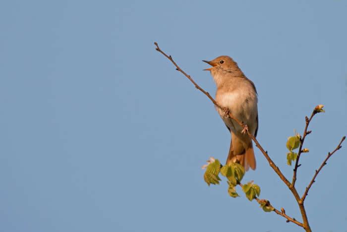 夜莺(如图中这只)正是伊莎贝拉.崔礼看到重新出现在聂普堡的生物之一。聂普堡是伦敦南部一处占地广阔的庄园,崔礼夫妻俩正透过一种名为「野化」的过程,让这片土地回归野