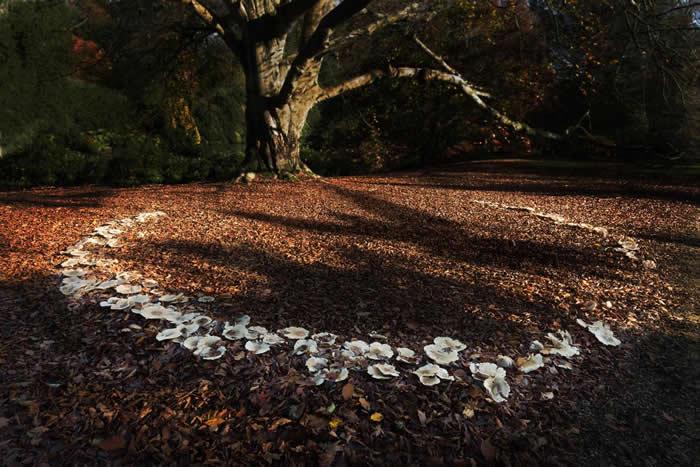 所谓的「菌根真菌」和它们形成的网络,能以庞大的沟通网连结起如图中这棵欧洲山毛榉之类的许多树木。崔礼在她的书《野之生》中写道,聂普城堡的土地上冒出了兰花,是真菌网