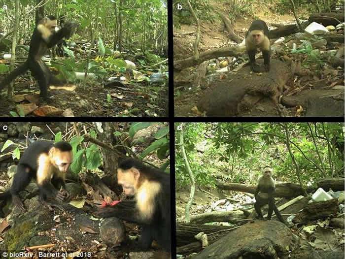 """巴拿马国家公园卷尾猴懂得利用石头打开有壳食物 意外进入""""石器时代"""""""