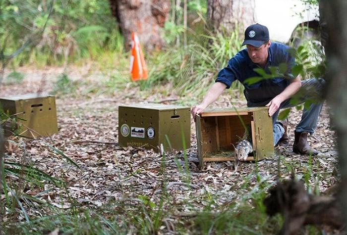 保育人员早前将该批来自塔斯马尼亚的东袋鼬放生。