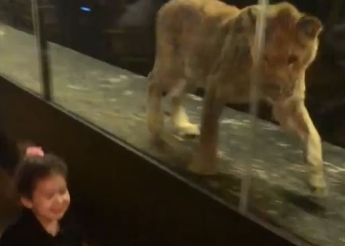 狮子出于本能,于玻璃箱内追逐在它面前奔跑的小孩。