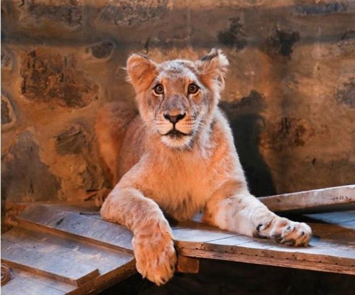 狮子年纪很轻,体型很瘦弱。