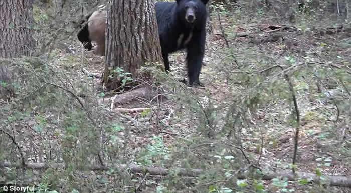 加拿大猎人因偷拍带小熊的母熊惨被追杀