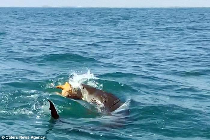 美国德克萨斯州虎鲨在游客面前撕碎乌龟