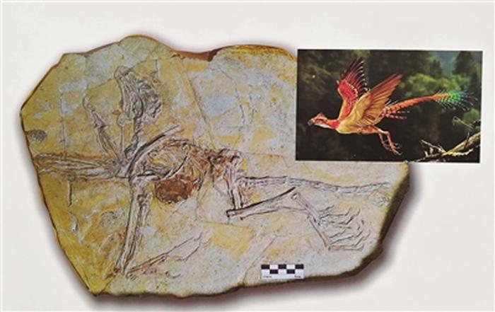曲足热河鸟化石和复原图