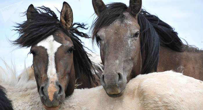 PLoS One:科学家揭示马为何打响鼻