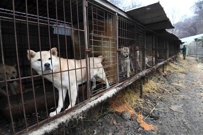 在2017年韩国的一场救援任务中,他们在首尔(Seoul)郊外的狗肉农场里,发现这只从笼舍中向外张望的狗。消费狗肉的传统在当今韩国已逐渐式微,尤其是年轻族群更倾