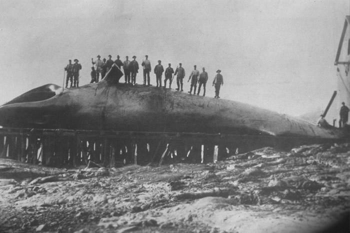 蓝鲸上世纪被大量猎杀,面临绝种。